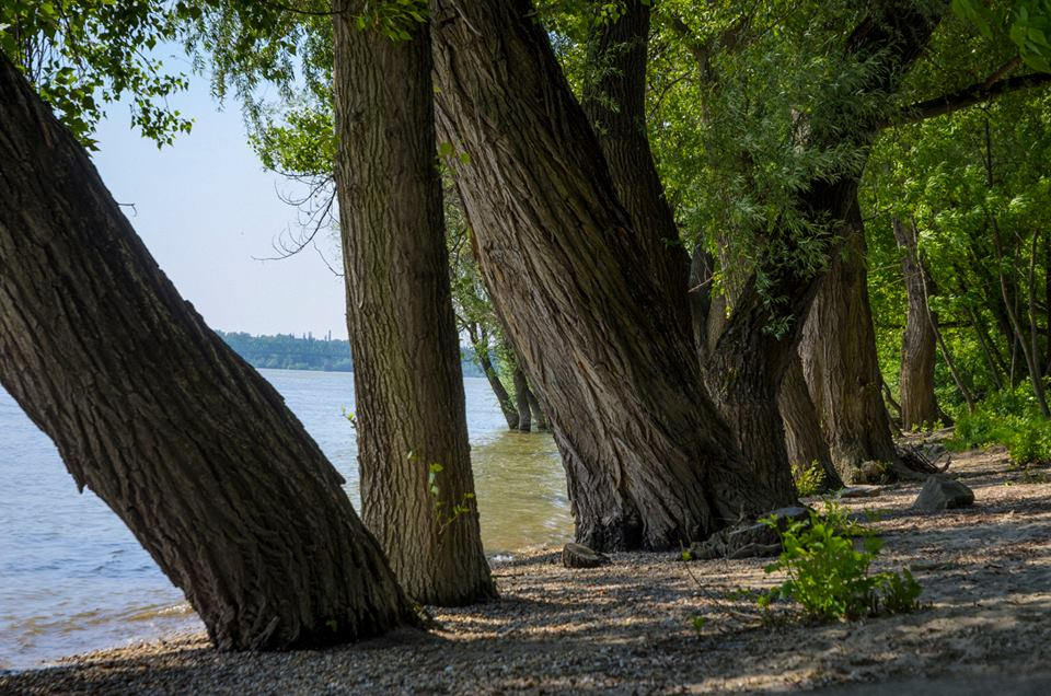 Endangered willow trees at Romai part - Roman bank, Budapest, Hungary